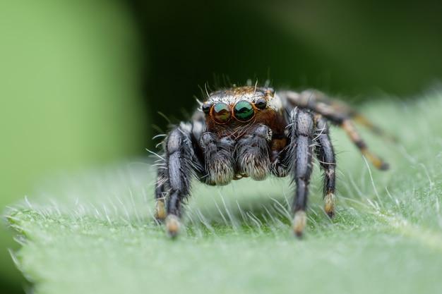 Springende spinne auf grünem blatt