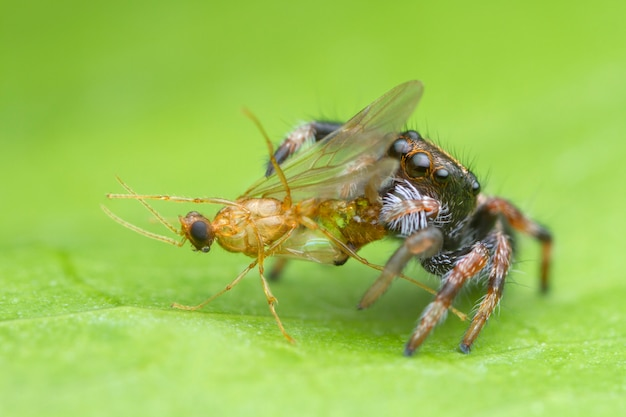 Springende spinne des netten babys, die opfer auf grünem blatt isst