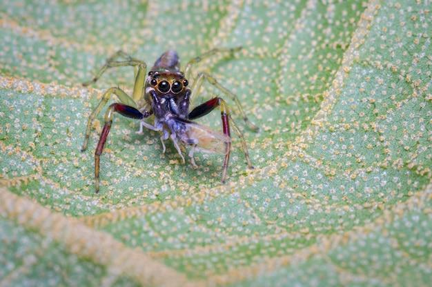 Springende spinne, die eine kleine beute für nahrung jagt