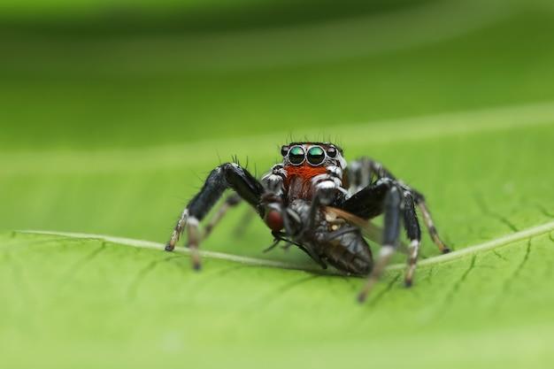Springende spinne und opfer auf grünem blatt in der natur