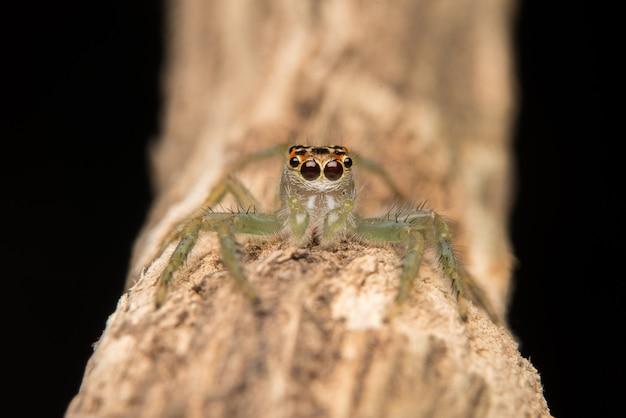 Springender spinnenraubtierlebensraum