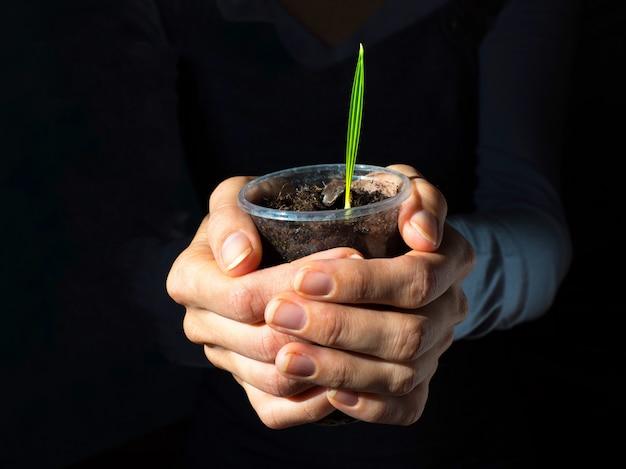 Spross dattelpalme in seinen händen