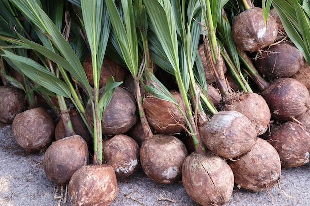 Spross des kokosnussbaums