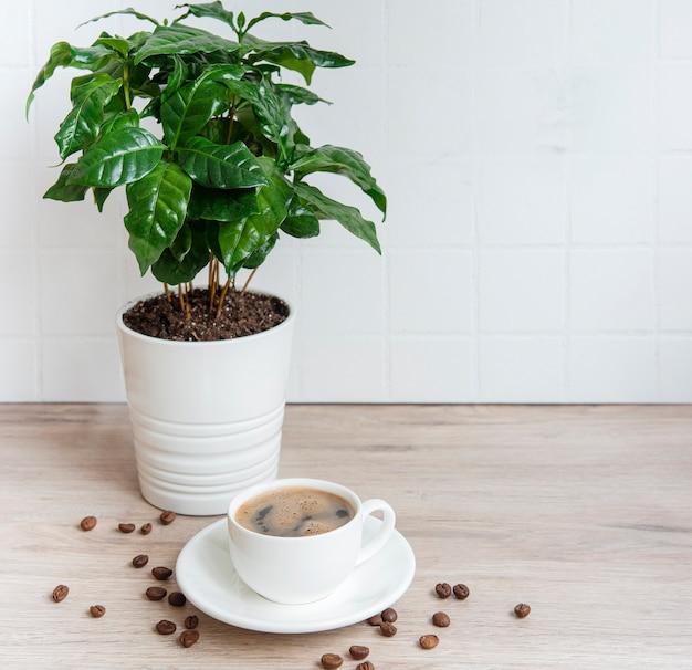 Sprossen des kaffeepflanzenbaums in einer kanne, einer tasse kaffee und gerösteten kaffeebohnen auf dem tisch
