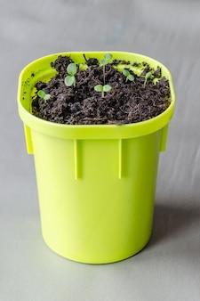 Sprossen in einer hellgrünen topfpflanze gepflanzt.