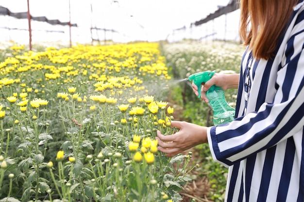 Sprühchrysantheme der attraktiven asiatischen frau blüht bauernhof