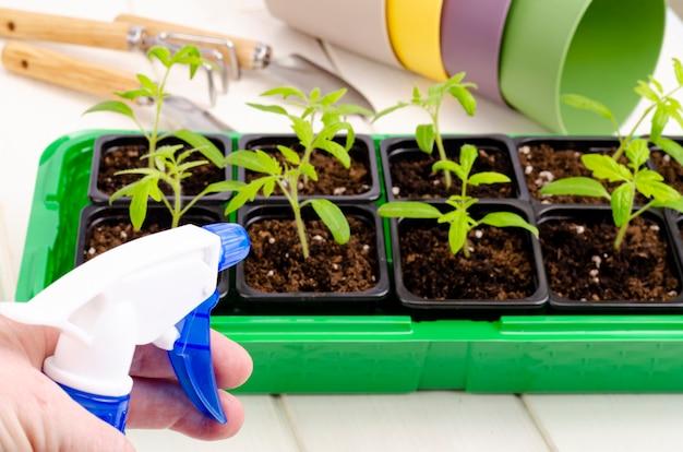 Sprühen aus der sprühflasche junger gemüsesämlinge, die im behälter wachsen.