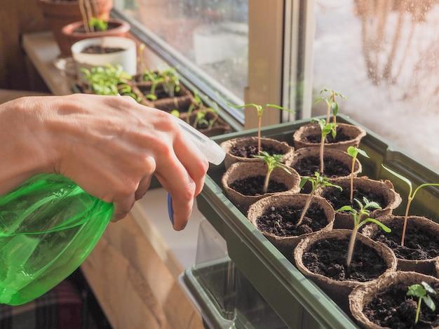 Sprühen von sämlingen. bewässerung von sprossen von gemüsepflanzen.