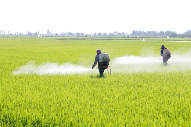 Sprühpestizid des landwirts auf dem reisgebiet, thailand