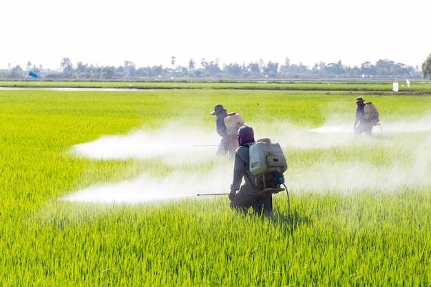Sprühpestizid des landwirts auf dem reisgebiet