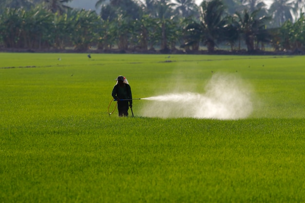 Sprühpestizid des landwirts im reisfeld