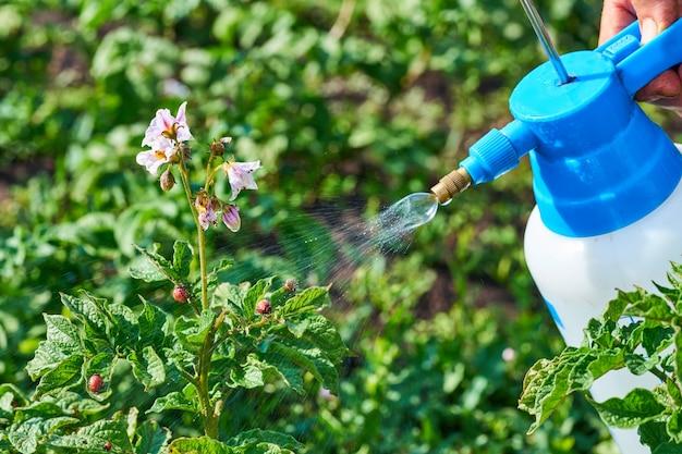 Sprühpflanzen gegen kartoffelkäfer. insektenbekämpfung in der landwirtschaft