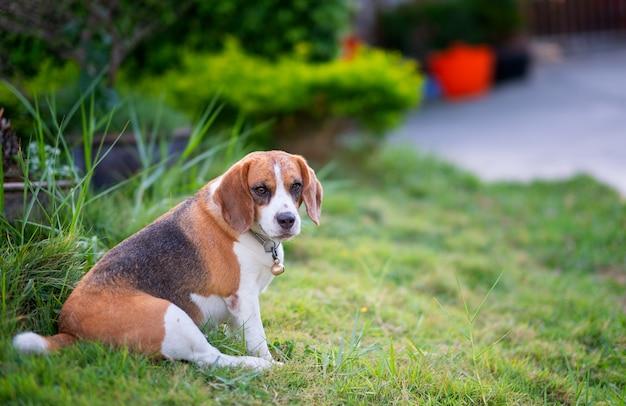 Spürhundwelpe, der auf grünem gras, netter spürhundhund des porträts sitzt