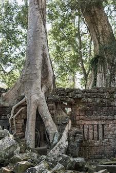 Spung-baum an tempel ta prohm, archäologischer park angkor, krong siem reap, siem reap, kambodscha
