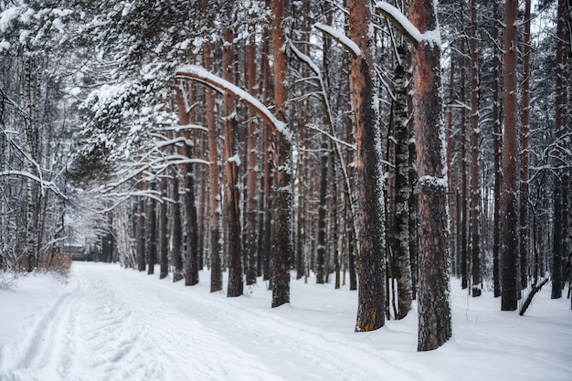 Spur in einem kiefernwald, winter