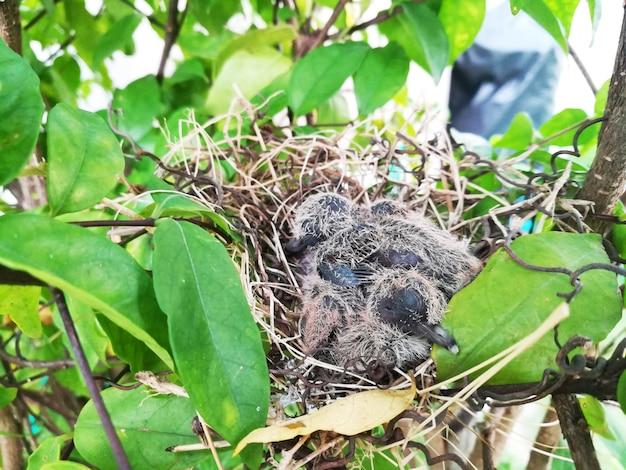 Squabs (baby dove) schlafen an den aufkommenden dunklen und scharfen schwanzfedern der flügel