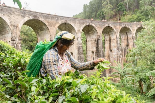Sri lanka frau, die tee um die neun-bogen-brücke pflückt.