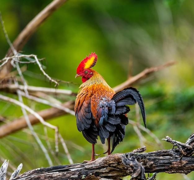 Sri lanka junglefowl geht auf dem boden im dschungel