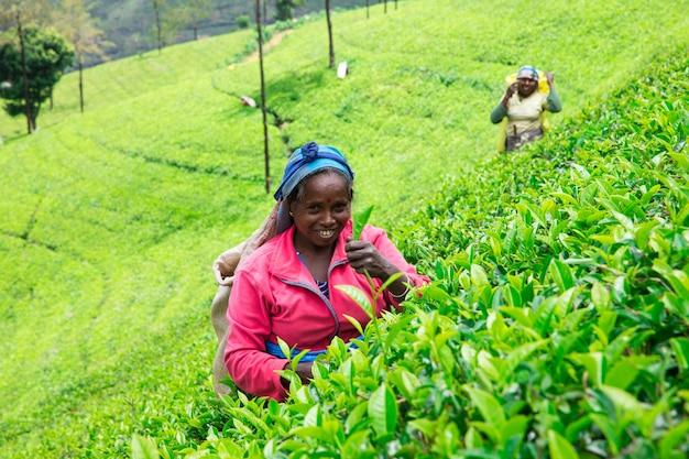 Sri lanka, nuwara eliya, mackwoods labookellie, teeplantage, teepflücker bei der arbeit