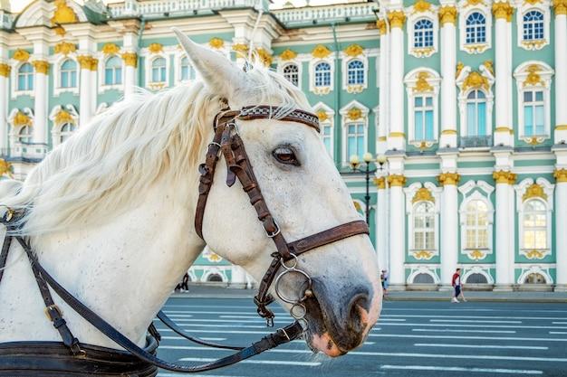 St. petersburg, russland - 10. mai 2021. ein weißes pferd für spaziergänge vor dem gebäude des winterpalastes - dem wichtigsten kaiserlichen palast russlands. staatliche eremitage. selektiver fokus.
