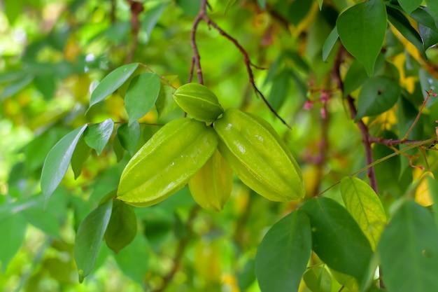 Stachelbeere oder sternapfel, frische stachelbeere am baum, grüne blätter im garten, nutzpflanzen, gesunde früchte, süß-saurer geschmack
