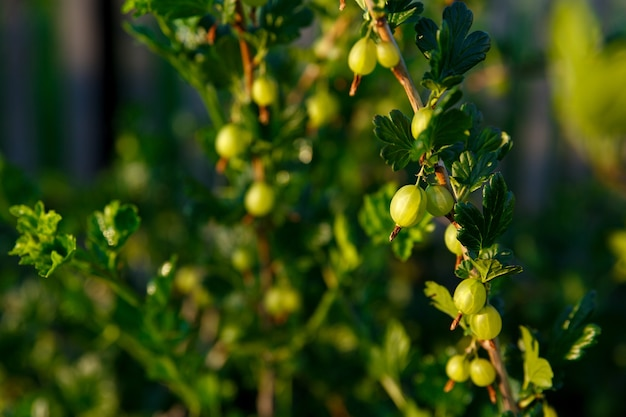 Stachelbeeren, die von der sonne beleuchtet werden, wachsen auf busch im garten