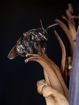 Stachellose biene der gattung trigona