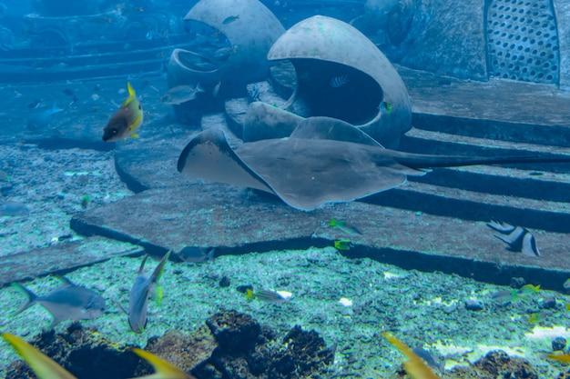 Stachelrochen schwimmen unter wasser. der kurzschwanzrochen oder glattrochen (bathytoshia brevicaudata) ist eine häufige stachelrochenart in der familie dasyatidae. atlantis, sanya, insel hainan, china.