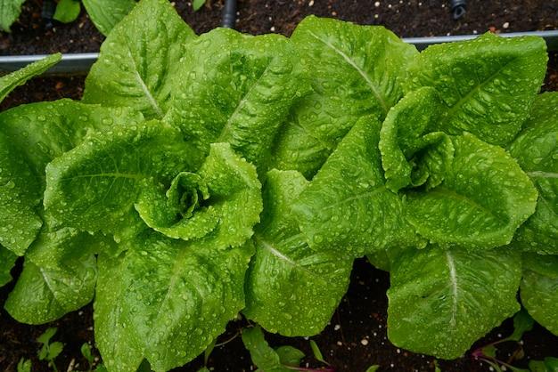 Städtisches gehöft mit salaten