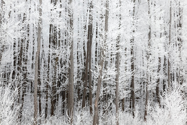 Stämme und zweige von laubbäumen, die morgens mit großen weißen kristallen aus eis, schnee und raureif bedeckt sind, die winterlandschaft im laubwald