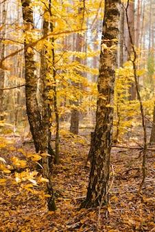 Stämme von birkenzweigen im herbstgelbwald