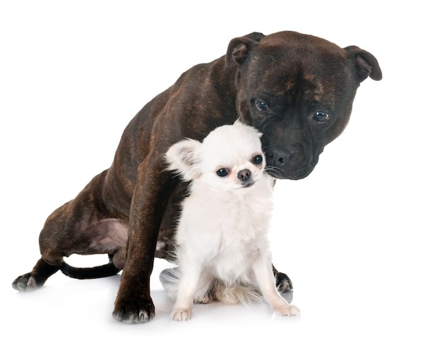 Staffordshire bull terrier und chihuahua