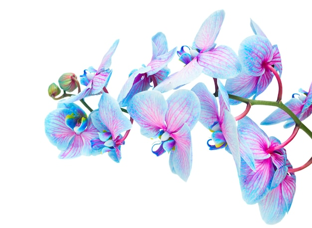 Stamm der blauen frischen orchideenblüten