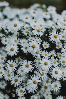Stapel von gänseblümchen, die in der mitte eines feldes sehr nahe beieinander wachsen und einen großen blumenstrauß bilden