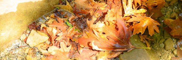 Stapeln sie nasse gefallene herbstahornblätter im wasser und in den felsen. banner