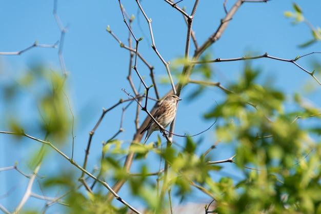 Star, der auf einem kirschbaumzweig sticht