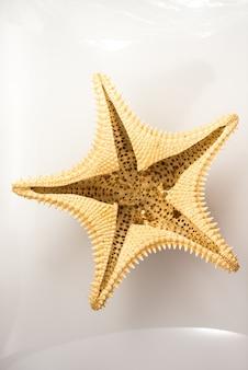 Starfish im studio mit weißem hintergrund
