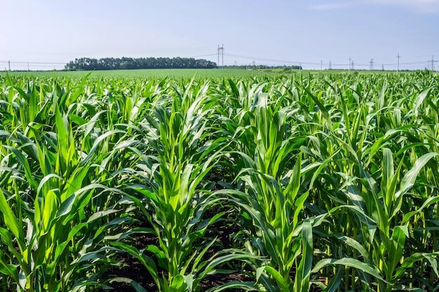 Starke, gleichmäßige maispflanzen auf dem feld, in der phase der gesteinsbildung