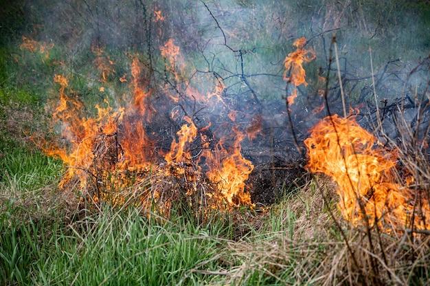Starker rauch vom feuer. schilffelder, trockenes gras reinigen