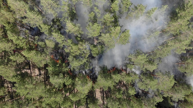 Starker waldbrand in einem nadelwald. brände in den usa im jahr 2020