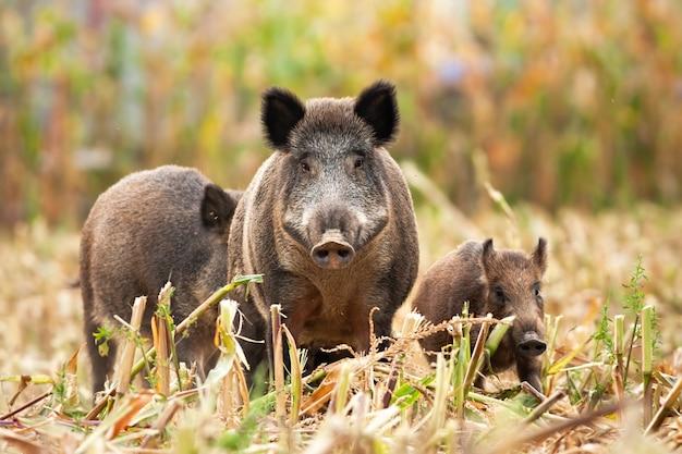 Starker wildschwein, der seine familie beim suchen nach nahrung führt