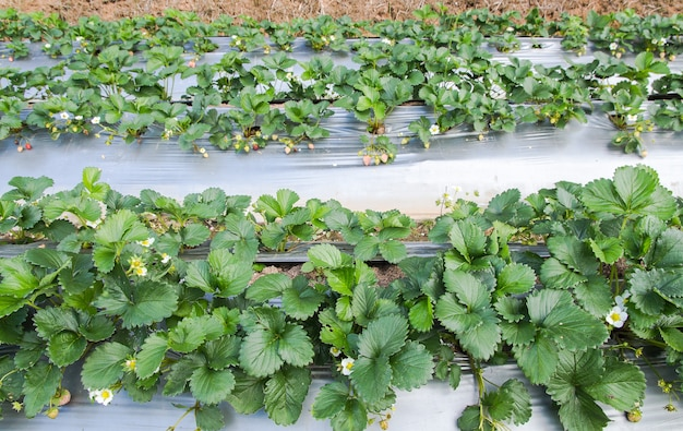 Stawberry-bauernhofgebrauchs-plastiklandwirtschaft auf dem boden quadratformat