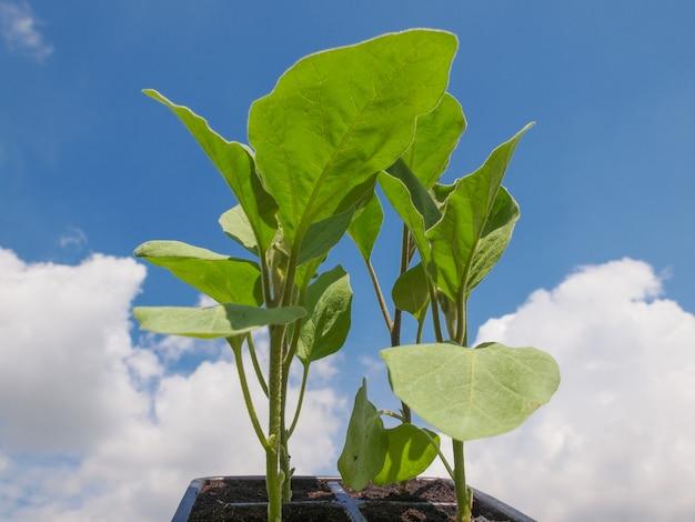 Steck auberginenpflanze