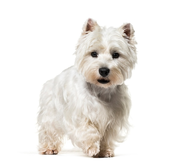 Stehender west highland white terrier hund, isoliert