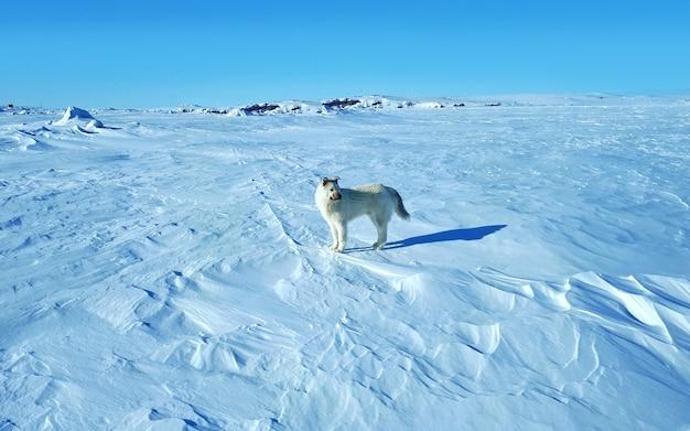 Stehender wolfshund in der tundra wolfshund im arktischen gefrorenen meerestier