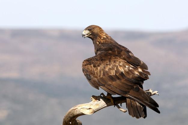 Steinadler, adler, vögel