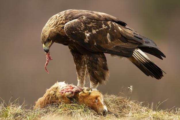 Steinadler, der auf einem toten fuchs steht und mit seinem blitz in der herbstnatur füttert