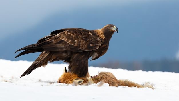Steinadler, der auf schnee in der winterzeitnatur steht