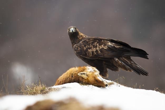 Steinadler, der zur kamera auf wiese im winter schaut.