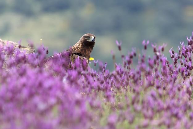 Steinadler männlich unter lila blumen mit dem ersten licht der morgendämmerung